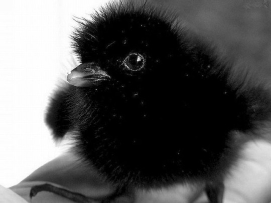 ravenchick