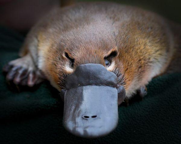platypus_
