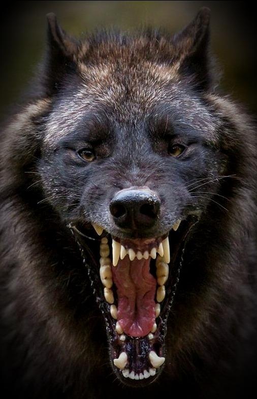 wolfrabid