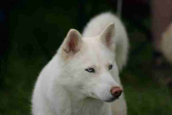 my Red Siberian Husky Wolf Mix little wolf