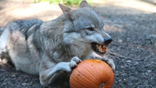 wolfpumpkin